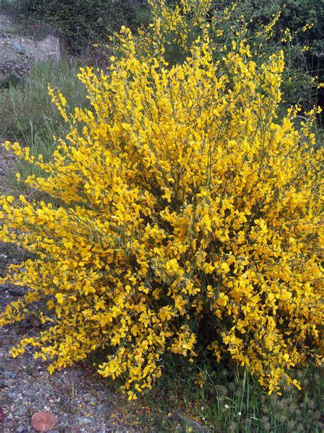 Flowering Shrubs Texas - opiniones de cytisus scoparius