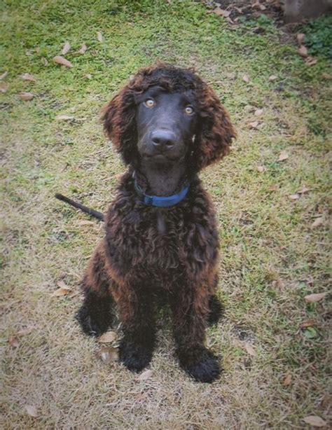 water spaniel puppies water spaniel iws puppy water spaniel