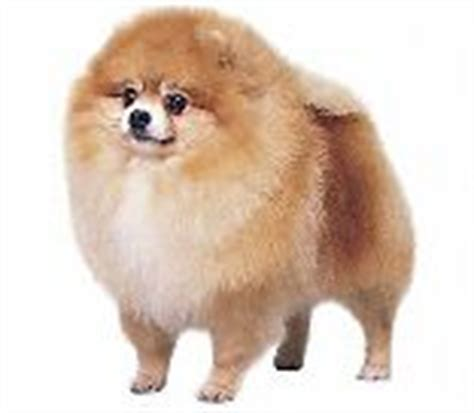 define pomeranian pomeranian definition by babylon s free dictionary