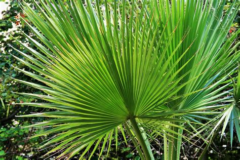 planting fan palm trees what do you about tree ferns these are one