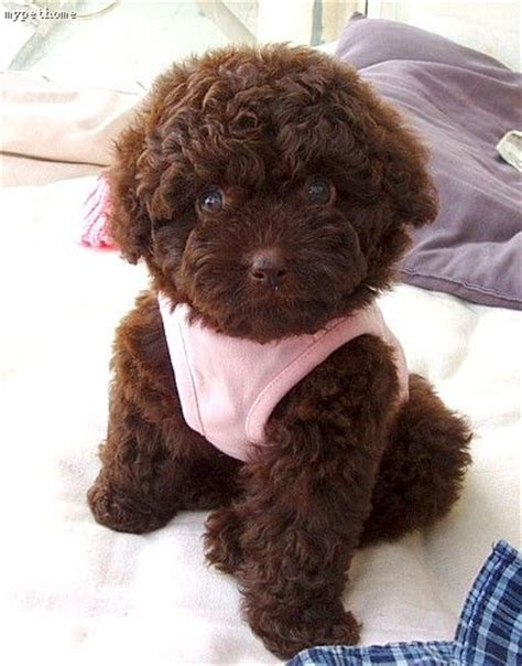 chocolate poodle puppy 23 best images about chocolate teacup poodle on poodles puppys and i want