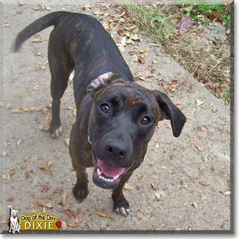 shippenville pa pointer boxer doggie of the day for february 17th witches of