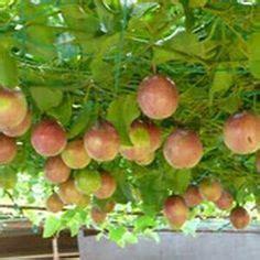 Bibit Jade Vine 25 ide terbaik tanaman merambat di terali