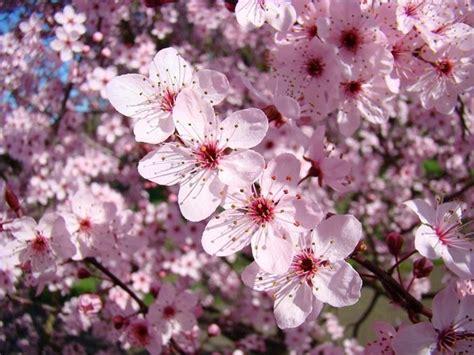 alberi in fiore a primavera alberi in fiore piante da giardino alberi in fiore