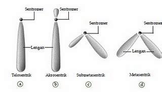 Genetika Tumbuhan L V Crowder bagian bagian dan bentuk kromosom dunia biologi lombok