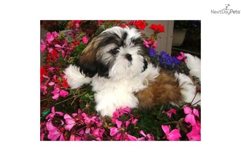 shih tzu puppies for sale in bellingham wa shih tzu for sale for 500 near bellingham washington 4aae3685 cea1