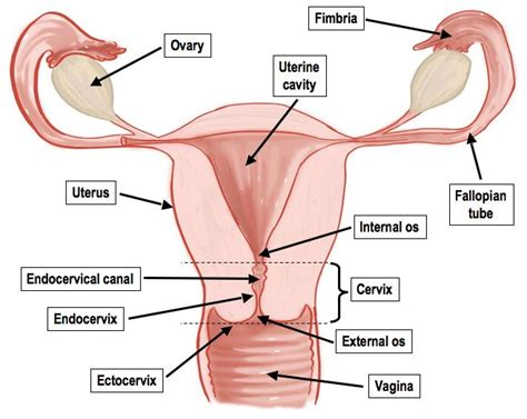 diagram of reproductive organs best 25 reproductive system organs ideas on