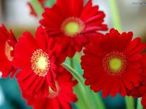 Flower Pic by Daisy Flowers Wallpaper 248267 Fanpop