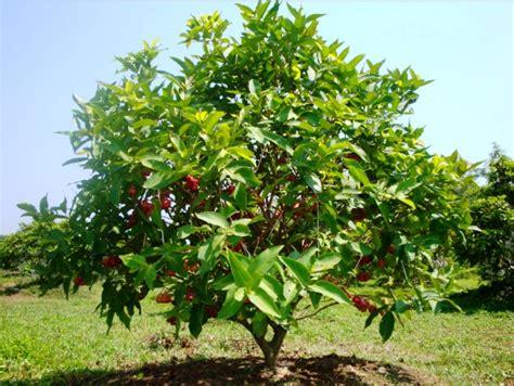 buah jambu madu related keywords suggestions buah jambu madu keywords