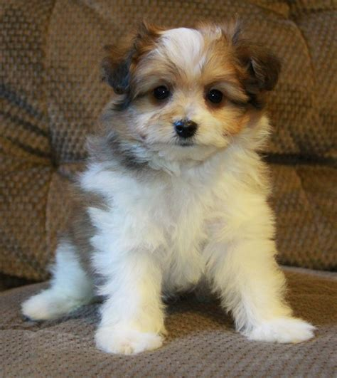 pomeranian puppies yokies shih tzu 25 unreal pomeranian cross breeds you have to see to believe