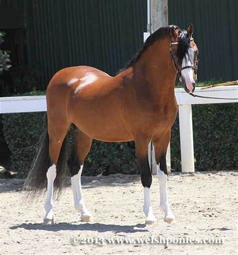 section b welsh pony for sale best 20 welsh pony ideas on pinterest horses pretty