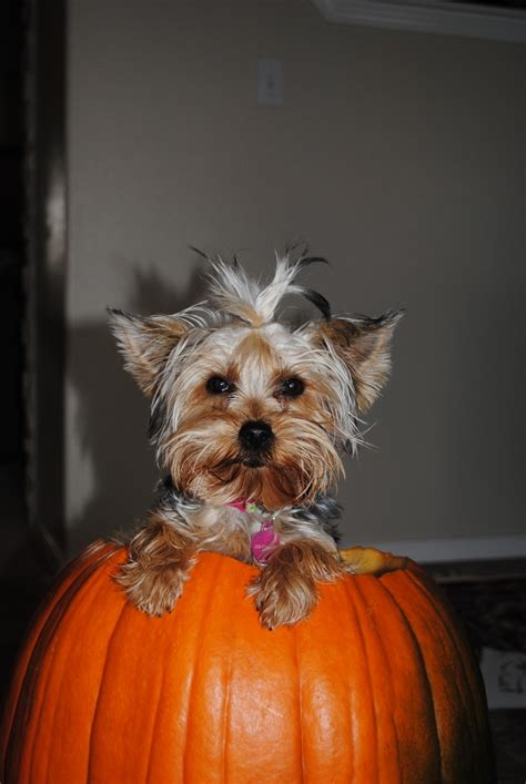 how to a yorkie to do tricks 81 best images about trick ortreatyorkies on penguin costume costumes