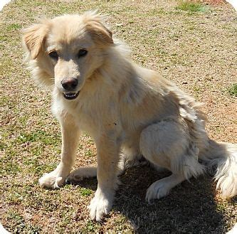 golden retriever collie golda golden retriever collie mix dogs