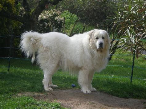 heaviest breed top 10 largest breeds in the world as 10 breeds picture