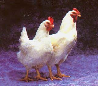 Ayam Ungkep Organik halalan toyyiban ayam organik hpa