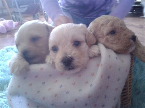 apricot yorkie poo puppies for sale teacup yorkie puppies available gorgeous teacup yorkie hd breeds picture