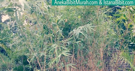 Jual Bibit Lada Perdu Malang jual bibit bambu kuning harga murah banyak manfaat aneka