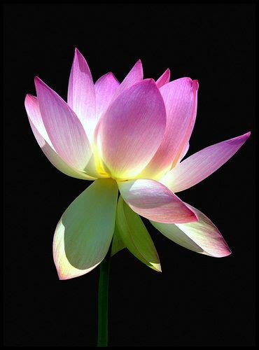 Golden Lotus Meaning 83 Best Images About Flowers On Flower