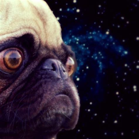 pugs in maine space pugs 169 space pugs