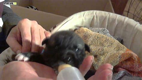 when do puppies stop milk rafeiro do alentejo puppy 6 days milk