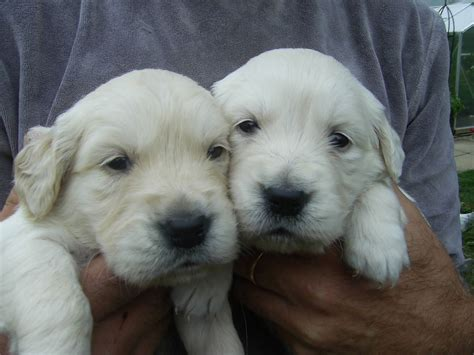 golden puppies for sale golden retriever dogs for sale uk breeds picture