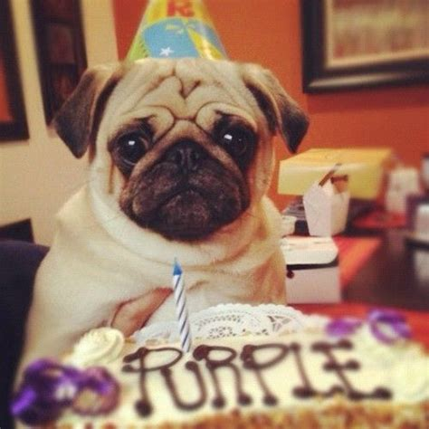 how to make your pug happy 187 best images about pug on pug humor birthdays and birthday cards