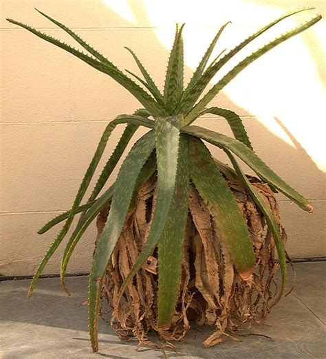 aloe vera plant facts top 28 types of aloe plants pictures aloe ortholopha