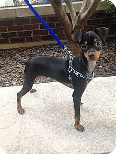 miniature pinscher puppies for sale in pa keystone puppies darwin miniature pinscher puppies for sale in pa