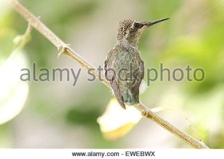 north american hummingbirds raising young fledglings in a