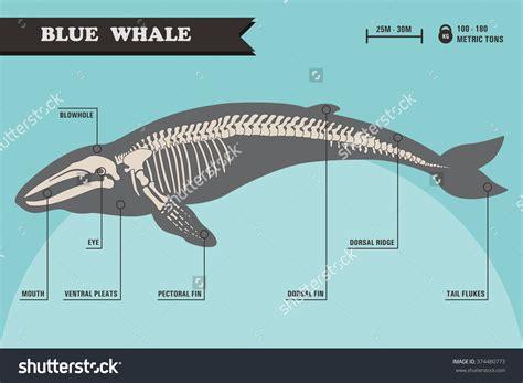 whale skeleton diagram whale skeleton clipart clipground