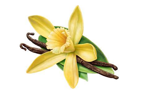 Vanilla Outher vanilla essential best essential oils