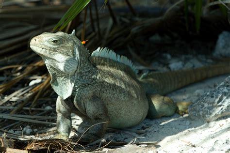 iguana island iguana island turks and caicos islands tripomatic