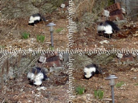 skunk in backyard how to keep skunks out of your garden motion sensor