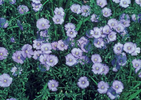a new flowering 1000 1854442066 linum perenne blue flax go botany