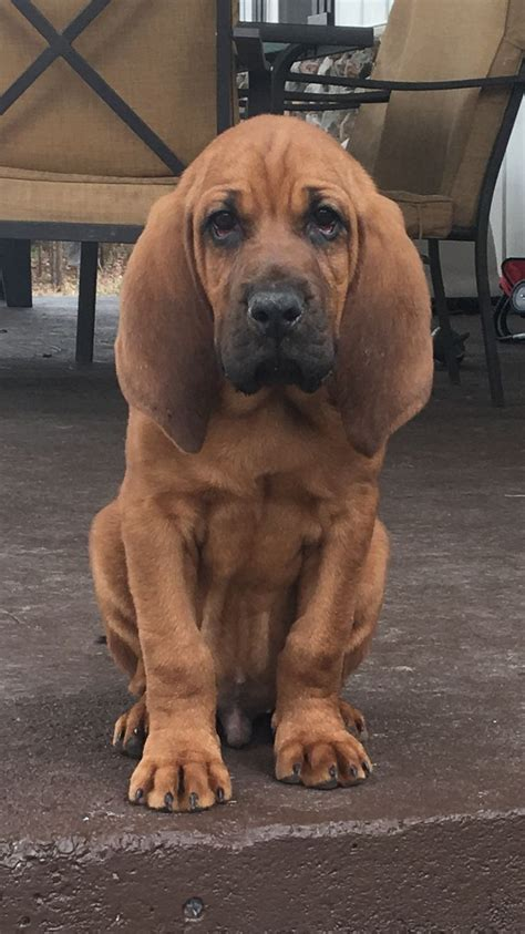 free bloodhound puppies best 20 bloodhound puppies ideas on