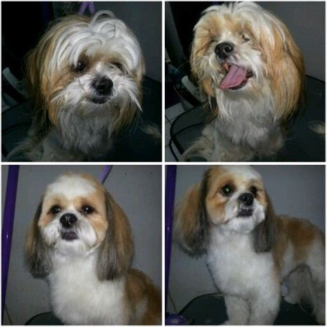 shih tzu poodle grooming shih tzu poodle mix grooming styles shih poo haircut styles newhairstylesformen2014