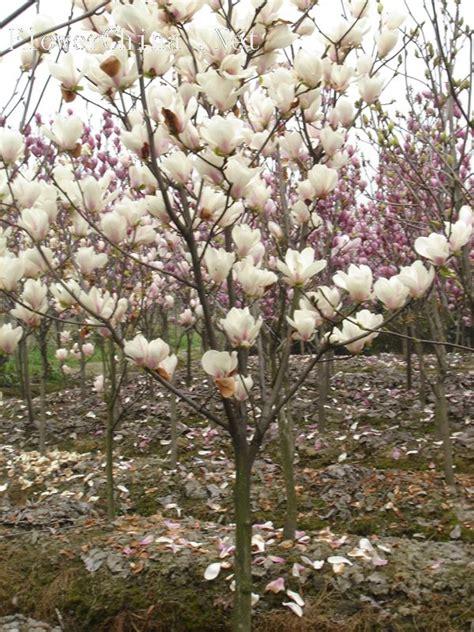 Magnolia 图 二乔玉兰 图片 互动百科