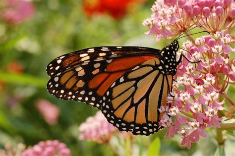 monarch butterfly green gate farm table serving up farm food and farm talk monarch butterflies orange and