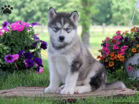 alaskan malamute puppies for sale in pa alaskan malamute mix puppies for sale in pa greenfield puppies