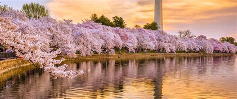 cherry blossom festival washington dc avenue suites