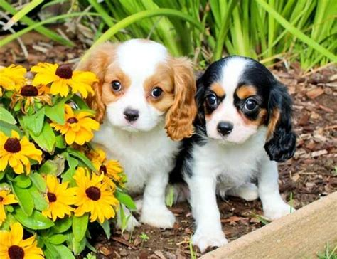cavalier king charles spaniel puppies for adoption cavalier king charles spaniel for sale adoption posot class
