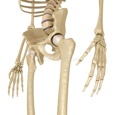 pelvis esqueleto humano frente cibertareas esqueleto humano pelvis y sacro aislado en blanco stock