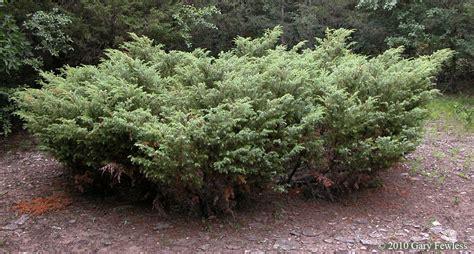 shrubs of wisconsin juniperus communis common juniper