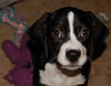 beagle puppies colorado beagle lab mix puppies picture