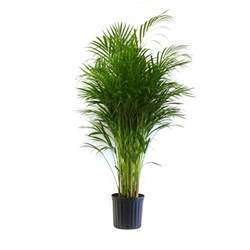 home depot house plants delray plants 9 1 4 in areca palm in pot 10areca the
