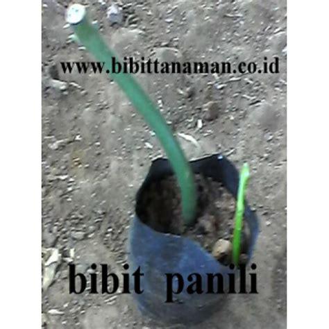 Bibit Vanili jual bibit tanaman unggul murah di purworejo