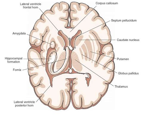 section of the brain overview of the central nervous system gross anatomy of
