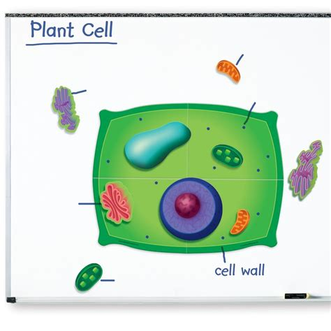 plant cell diagram for 5th grade plant cell structure for www pixshark images
