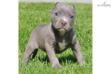 baby pitbull puppies pitbulls breeds picture