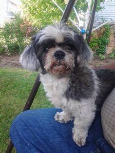 shih tzu breeders in massachusetts lost dogs ma on pet names lost pets and massachusetts